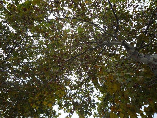 Árboles en Barcelona