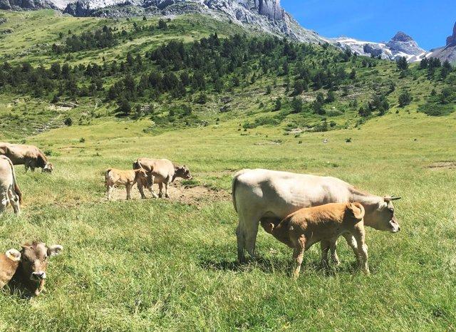 La carne de las vacas del valle de Aísa es consumida por escolares jacetanos.