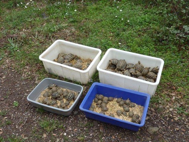 Ejemplares de tortuga mediterránea liberados en el paraje natural de l'Albera