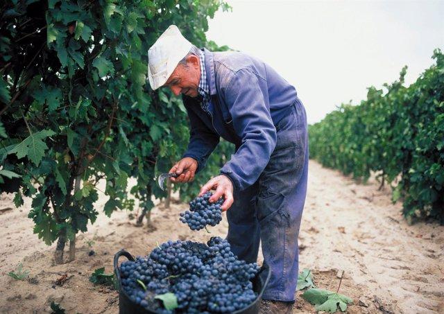 Un hombre vendimiando en La Rioja