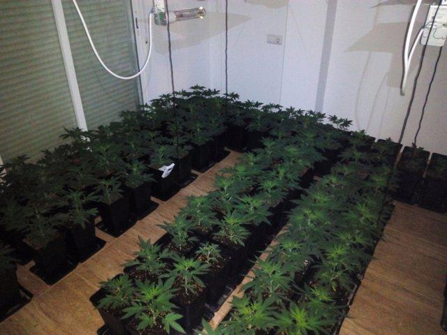 Plantación de marihuana en El Ejido