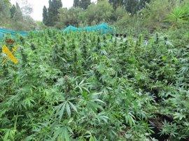 A prisión acusado del cultivo de 426 plantas de marihuana en Jimena