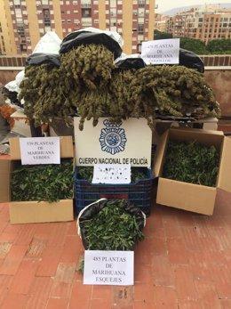 Incautación de 1500 plantas de Marihuana por Policía Nacional