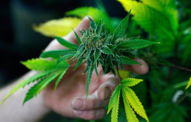 Planta de marihuana en Estados Unidos