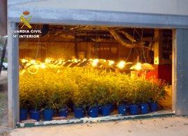 Cae en Bullas un grupo dedicado al cultivo ilícito de marihuana con 3 detenidos y casi 400 plantas incautadas