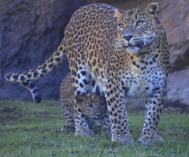 El cachorro de leopardo se llama Ekon