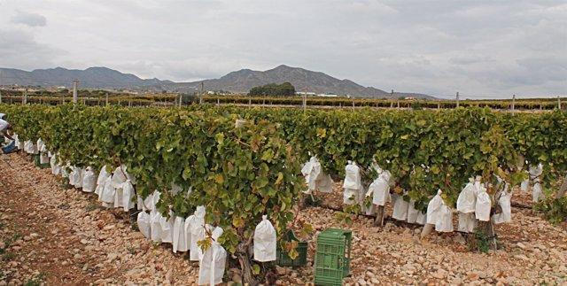 Imagen de archivo de un campo de uva de mesa del Vinalopó.