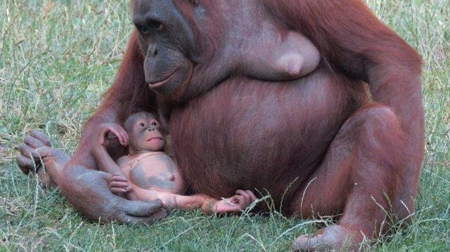 Orangután y su cría