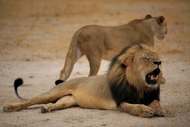El león Cecil, abatido durante una cacería en Zimbabue