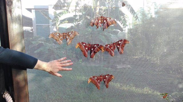 Las mariposas de alas de más de 30 centímetros