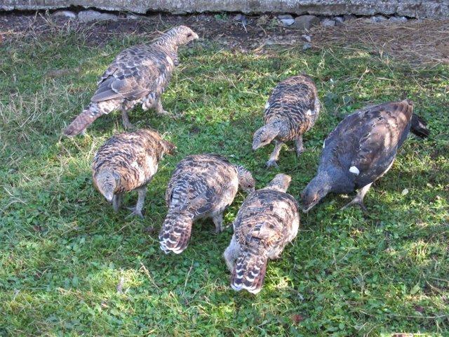 Ejemplares juveniles de urogallo cantábrico.
