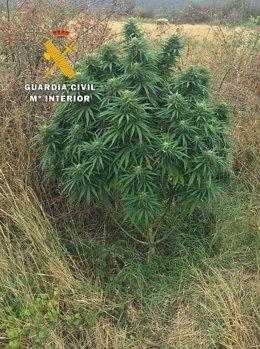 Una de las plantas aprehendidas.