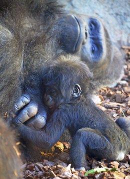 La bebé gorila de Bioparc se llamará Virunga