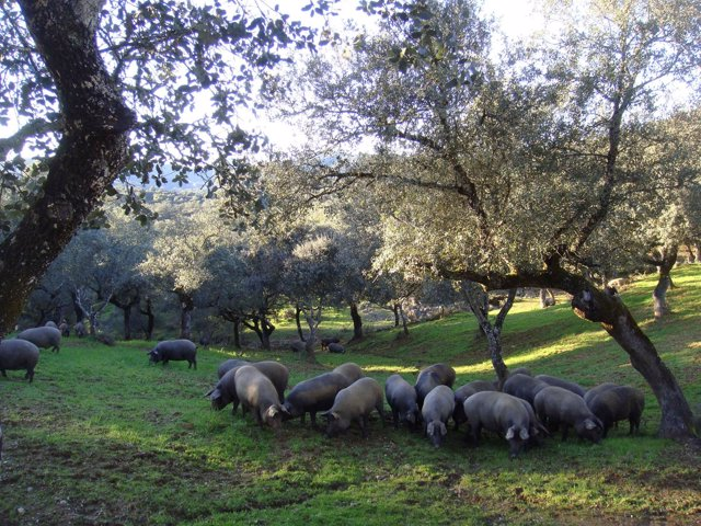 Dehesa andaluza con cerdos ibéricos