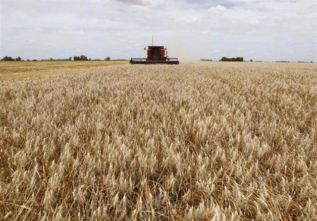 cosecha de trigo en un campo cerca de la localidad de General Belgr
