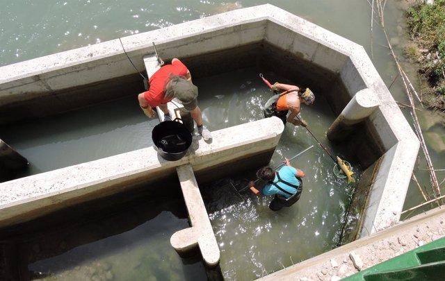 NOTA Y FOTO: Más De 3.000 Peces Han Utilizado Ya Las Escalas Construidas Por La