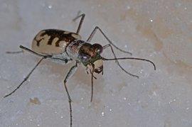 Detectan nueve especies de cicindelas en las estepas salinas de los humedales manchegos