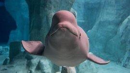 Nace una cría de beluga en el Oceanogràfic de Valencia