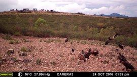 Un proyecto para proteger aves carroñeras amenazadas en Extremadura, con apoyo agrícola