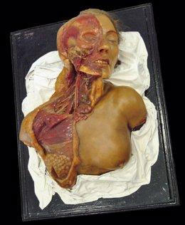 Modelo de cabeza y torax del Museo de Anatomía de la UVA