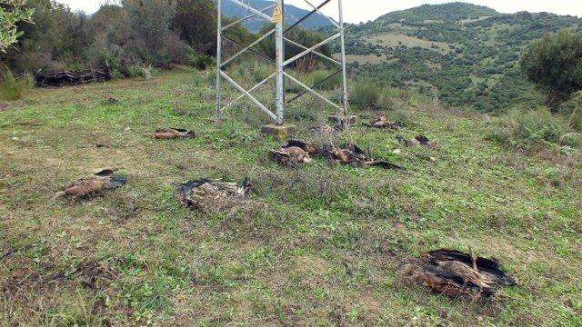Foto de los cadáveres de los buitres leonados en Casares