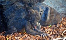 Baby boom en Bioparc Valencia con nuevas crías de gorila, leopardo, dril, bongo y jirafa