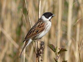 Aumenta la población de escribano palustre, un ave amenazada de s'Albufera