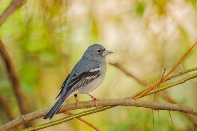 Pinzón azul, nueva especie de ave, endémica en Canarias