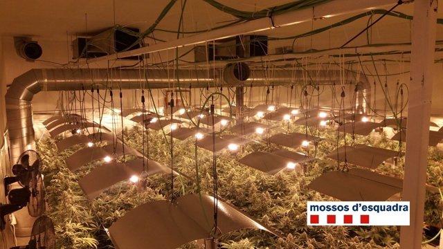 Plantación de marihuana en Castellar del Vallès (Barcelona).