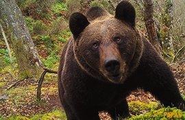 FAPAS alerta de la desaparición del oso pardo del oriente de Asturias