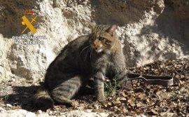 Rescatan un ejemplar de gato montés atrapado en un cepo en Motilleja (Albacete)