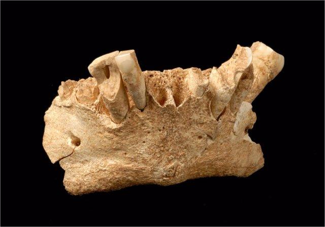 Los microfósiles identificados en la mandíbula de Atapuerca