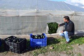 Piden más seguridad tras el robo de 4.000 kilos de berenjena en La Mojonera