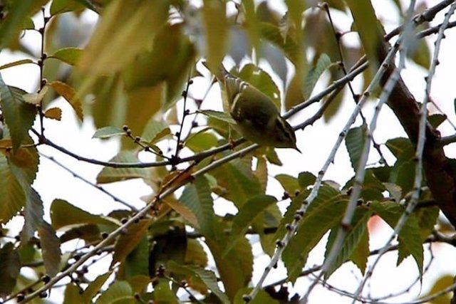 Mosquitero bilistado, un ave de Siberia que descansa en España