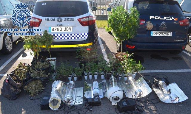 Decomiso de plantaciones de marihuana en Logroño