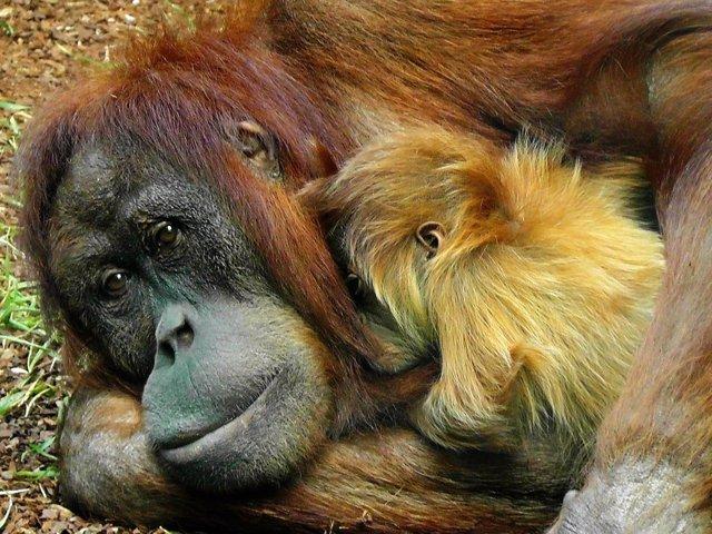 Mono orangután
