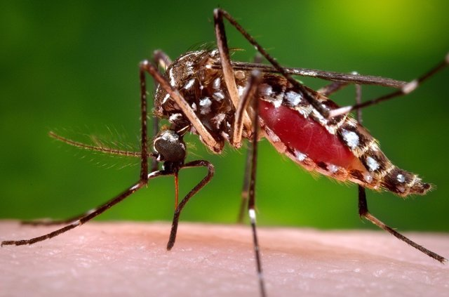 Mosquito del Chikungunya