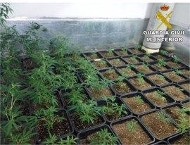 Desarticulan un grupo dedicado al cultivo de marihuana y se incautan de 6.000 plantas en la Marina Alta