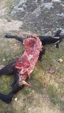 Cabra muerta tras un ataque de lobos