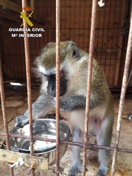 Uno de los monos incautados en la operación