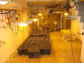 Intervienen 210 plantas y 250 gramos de marihuana en un cultivo indoor en La Roda