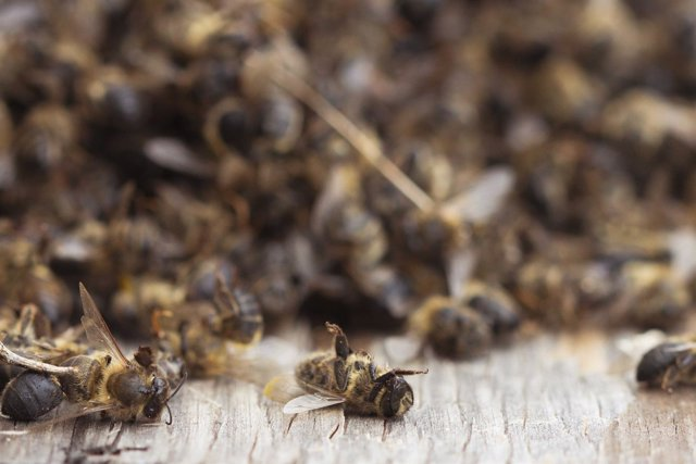 Grupo de abejas muertas
