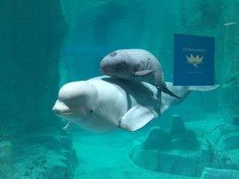 Kylu, la única cría de beluga en Europa, se presenta en sociedad en l'Oceanogràfic