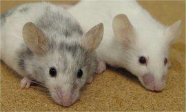 Nueva vía para reprogramar en ratones células madre embrionarias en 'totipotentes'