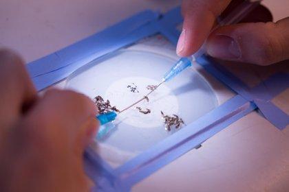 Investigadores de Doñana descubren que el parásito causante de la malaria modifica su virulencia dentro del mosquito