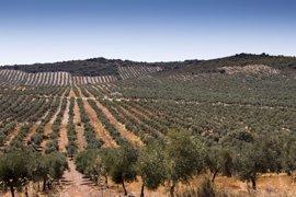 """""""Buenas perspectivas"""" para la producción olivarera en Extremadura en 2017"""