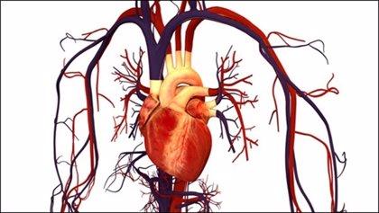 Detectan una proteína capaz de regular la actividad eléctrica de las células cardiacas