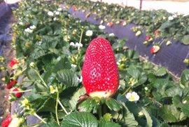 La producción de fresa en Huelva cae un 60% por las bajas temperaturas