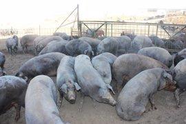La Junta concluye que el 80% de las granjas de porcino en CyL tiene niveles de bioseguridad altos