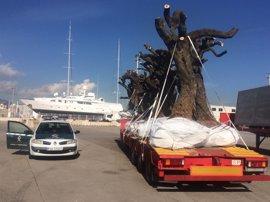 Inmovilizadas en el Puerto de Palma varias cargas para controlar la posible entrada de la 'Xylella fastidiosa'